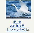 動物 2011年12月「オオハクチョウ」※